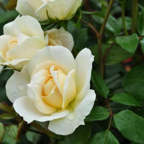 роза лионс роза фото